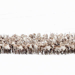 Small square reindeer grahame soden 1400x600 3